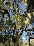 savannah, spanish moss, tree