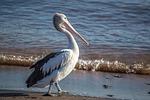 pelican, bird, australia