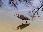 blue heron, water bird, bird