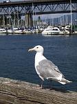 seagull, bird, wandering