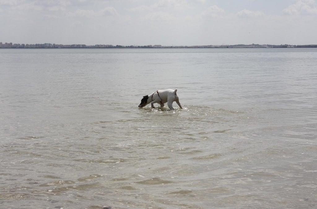 Playa de la Cortadura जवळ Cádiz की छवि. ocean sea dog beach water animal bay sand terrier cadiz ratterrier andaluz ratonero bodequero
