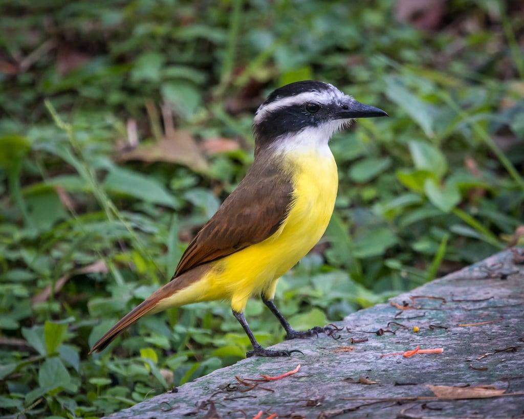 תמונה של Chichen Itzá ליד San Felipe Nuevo. bird birds chichenitza chichénitzá flycatcher greatkiskadee mayalandhotelbungalows mexico yucatan yucatán
